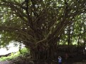 Banyan Tree 1