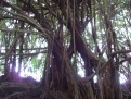 Banyan Tree 2