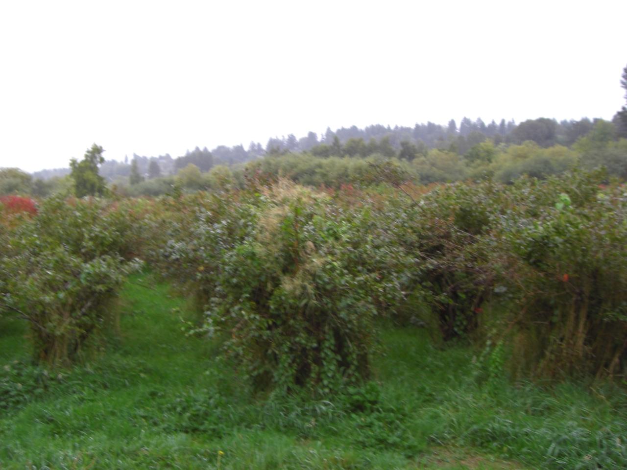 Blueberryfields