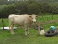 Cow - just to mention the obvious