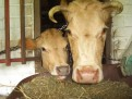 Cows are so cute when they are eating...