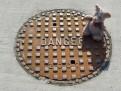 Danger Pig