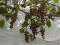 Grapes before the bird invasion