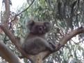 Koala posing for us