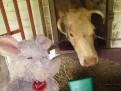 Trudi feeding the cows