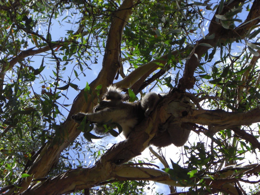 Very energetic koala trying to pull a branch